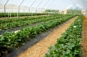 N.C. Strawberries_high tunnel production