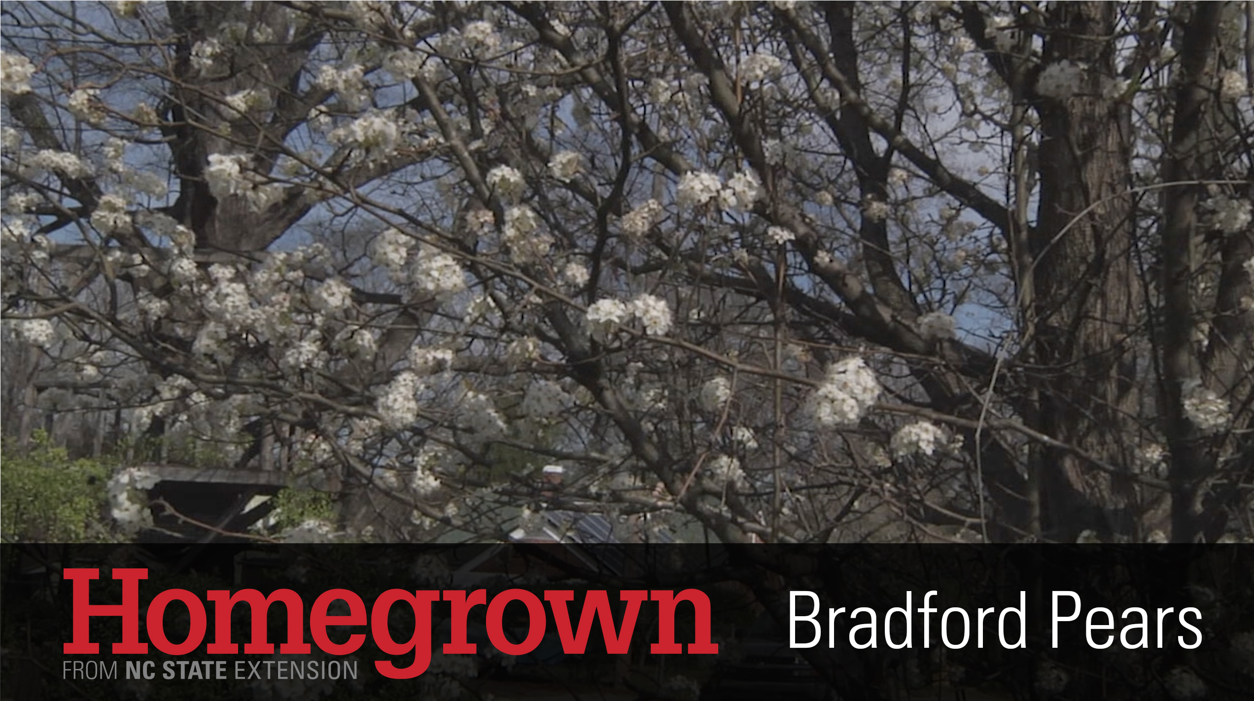 A photo of blooming Bradford pear trees