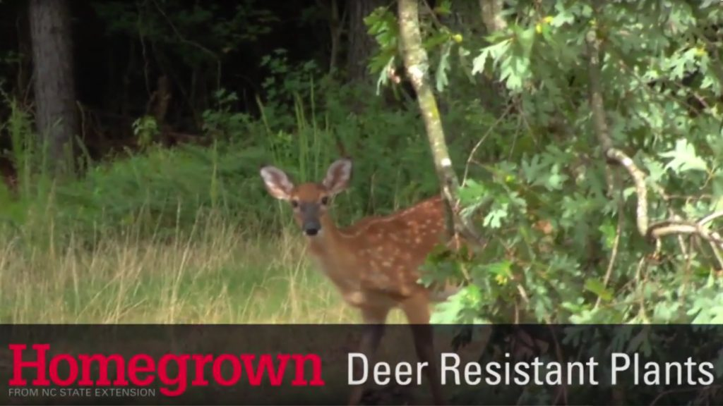 Homegrown series_Deer Resistant Plants video image