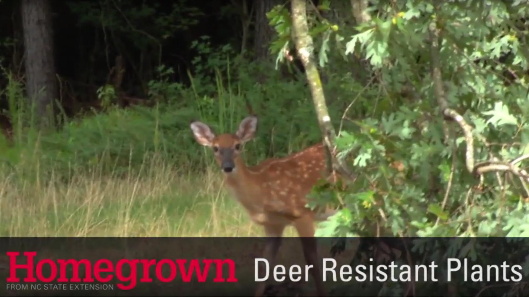 Homegrown series_Deer Resistant Plants video image
