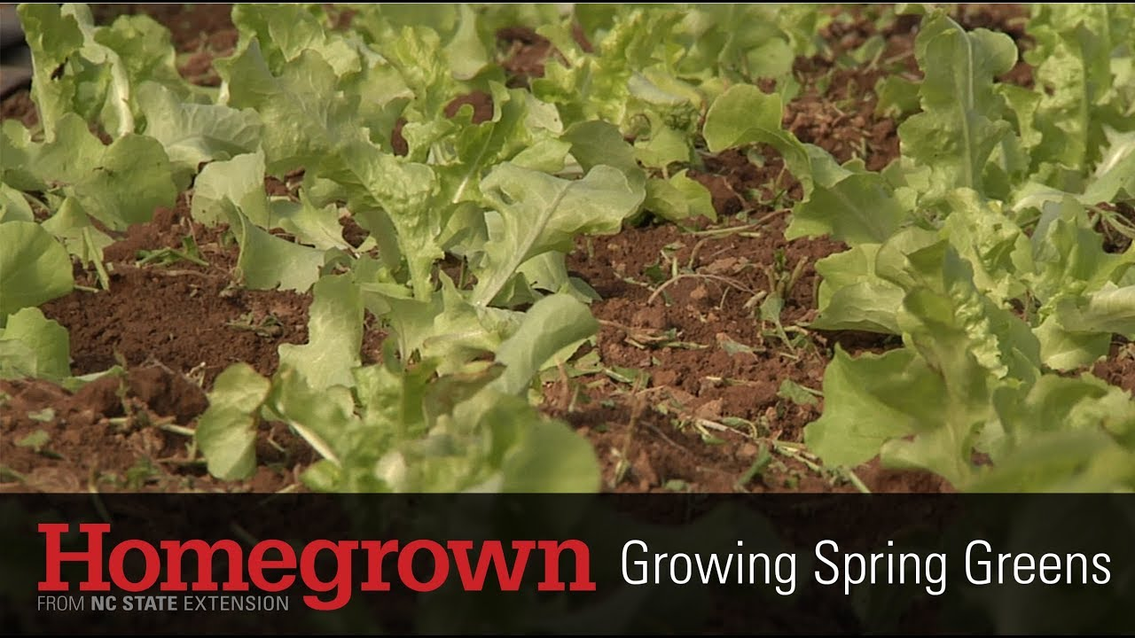 Homegrown series_Growing Spring Greens video image