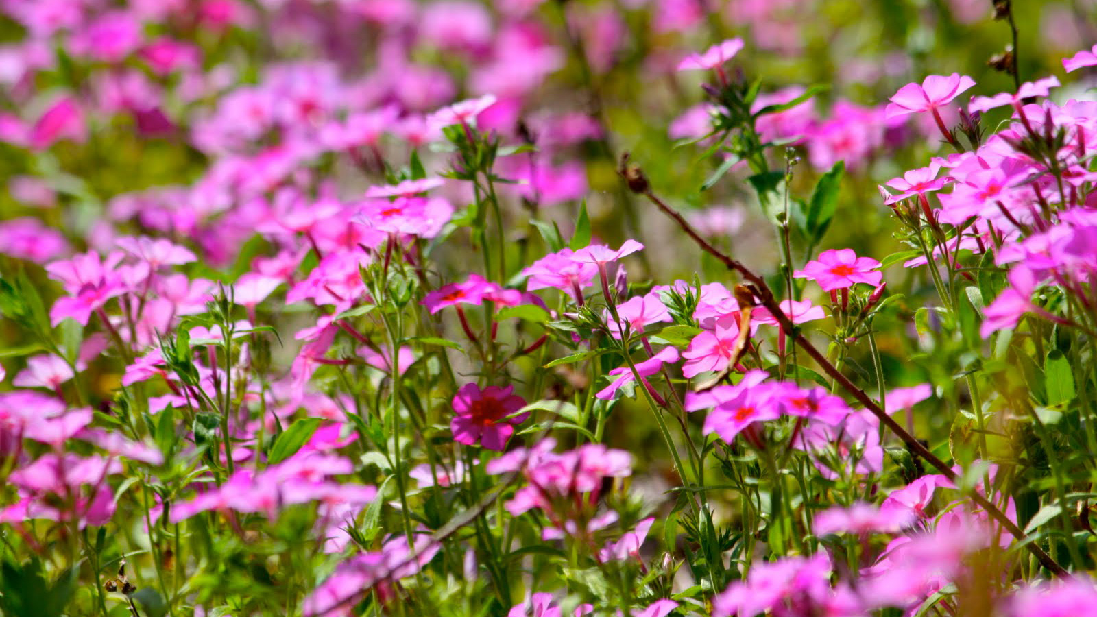 Bright pink downy phlox flowers in a field