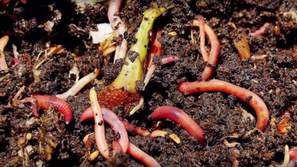 Worms in a compost bin with food scraps and soil