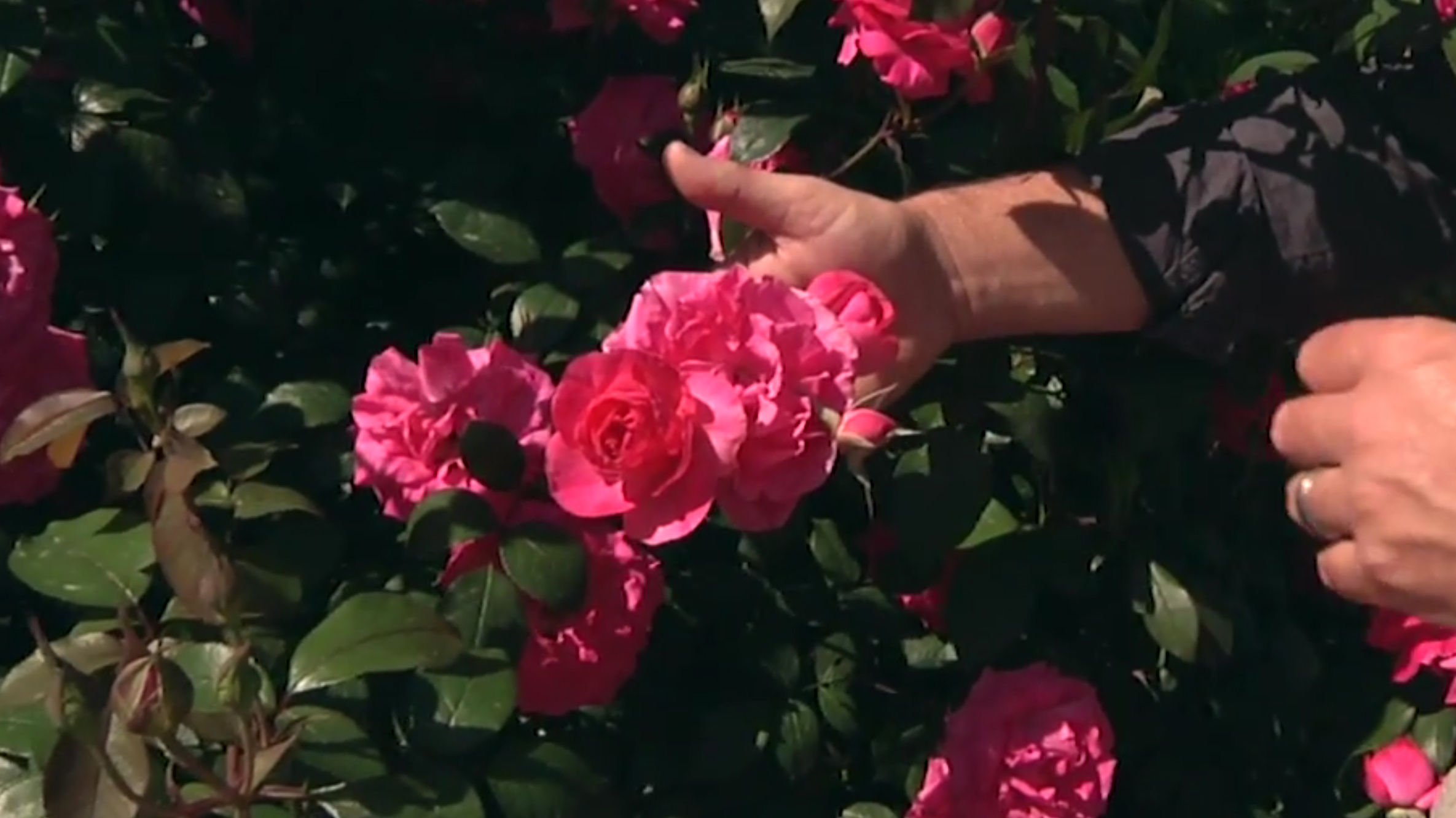 A hand holding a Tahitian Treasure Rose on the bush as a demonstration for a Homegrown video from NC State Extension.