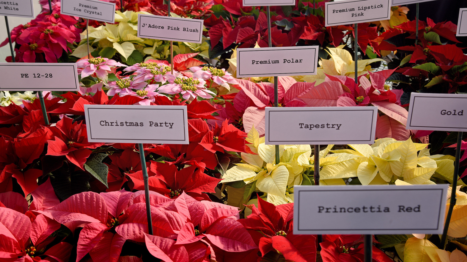 A variety of poinsettia plants at Poinsettia Field Day in a Raulston Arboretum greenhouse.