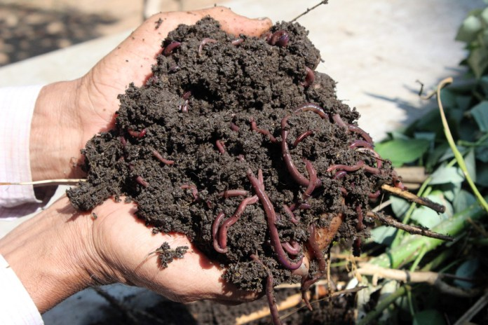 Worms being held in someone's hands mixed with soil