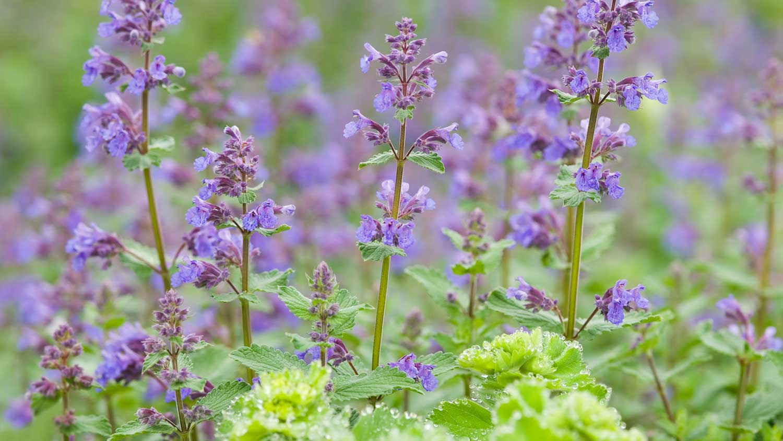 Purple catmint flowers.