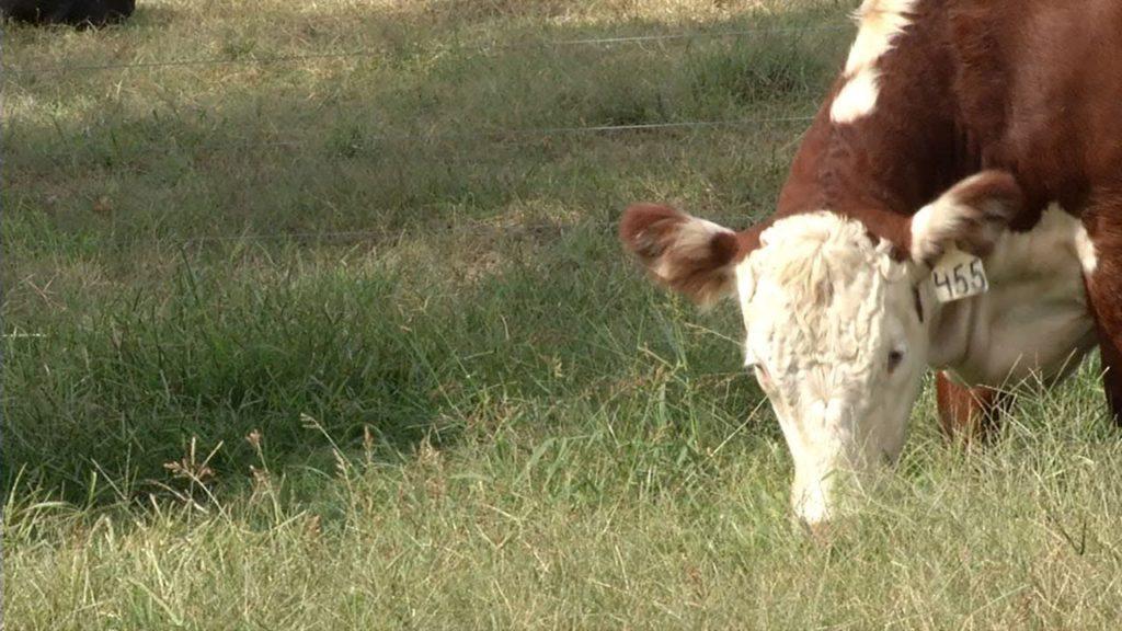 A cow grazes on grass