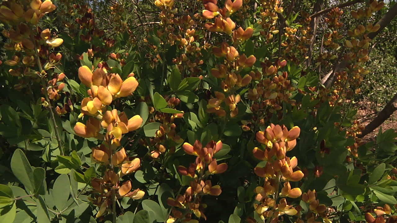 Baptisia growing in a garden