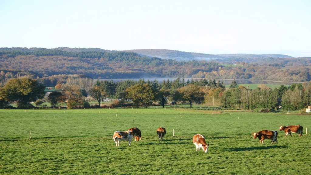 Photo of cows grazing in a pasture with hills in the background