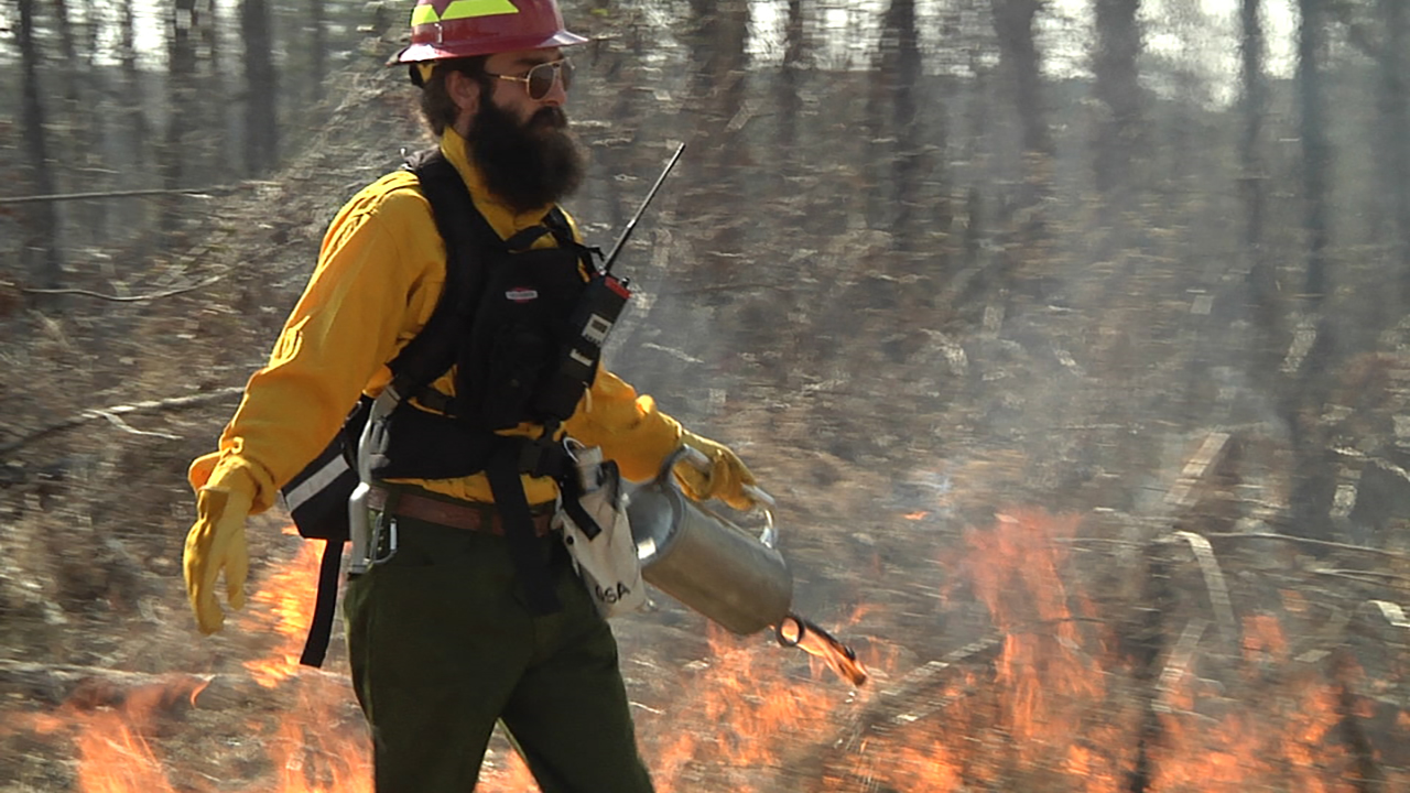 A professional forester conducts a prescribed burn using a drip torch