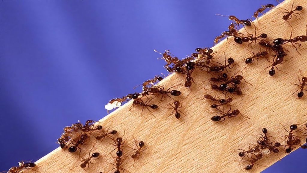 Numerous fire ants on a piece of wood in front of a blue background