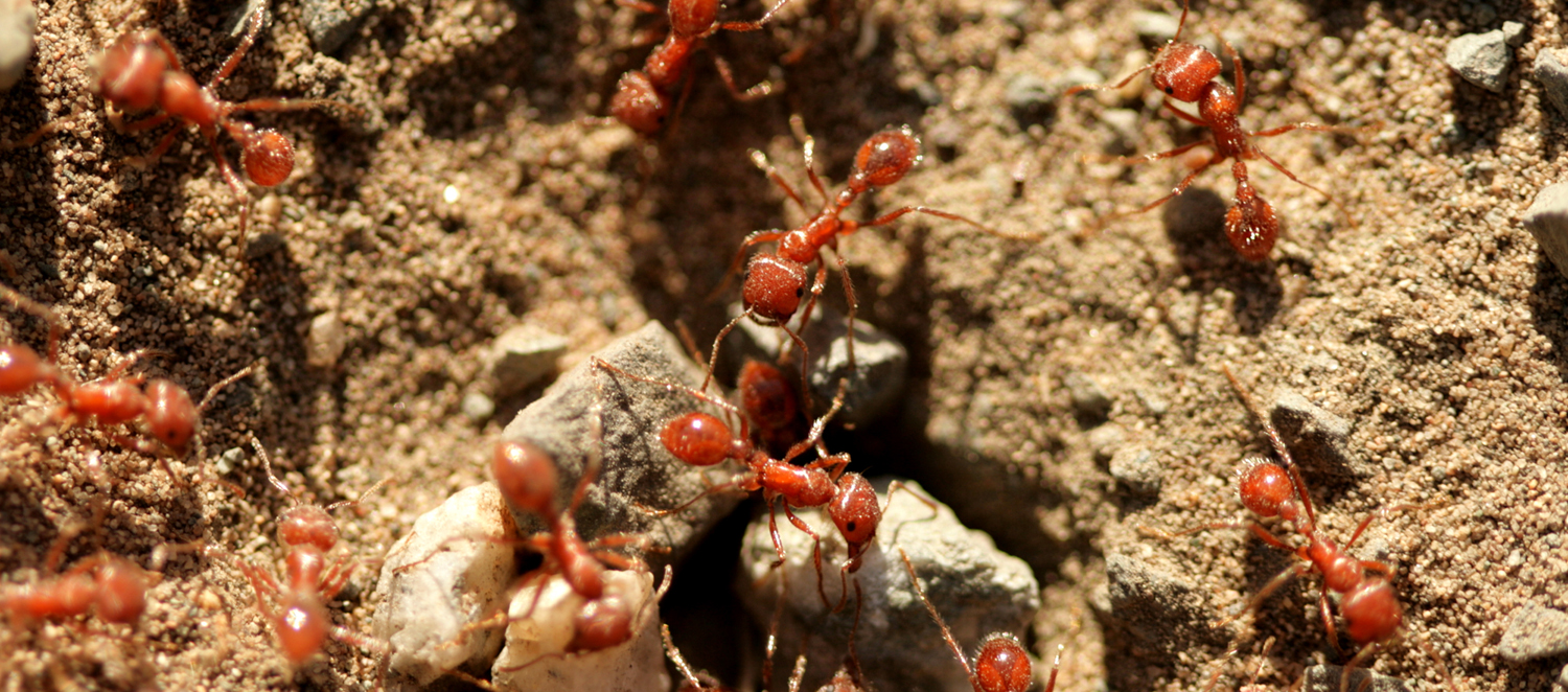 A close-up of ants working together on a dry open patch of land