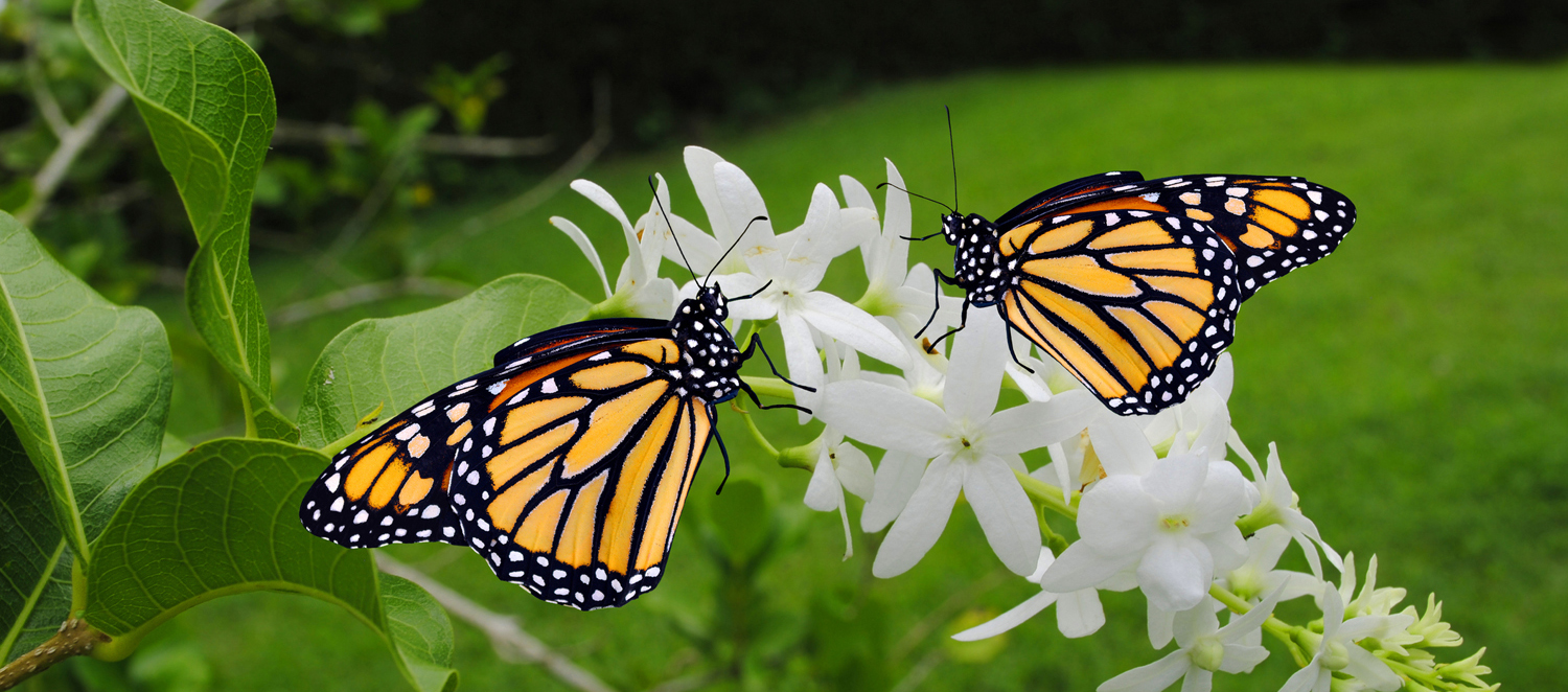 Two Monarch butterflies perched on a white flower