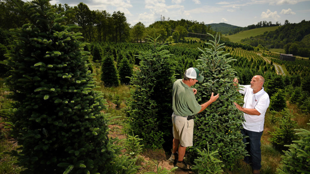 A farmer and Extension agent inspect a Christmas tree at a Christmas tree farm in the North Carolina mountains.