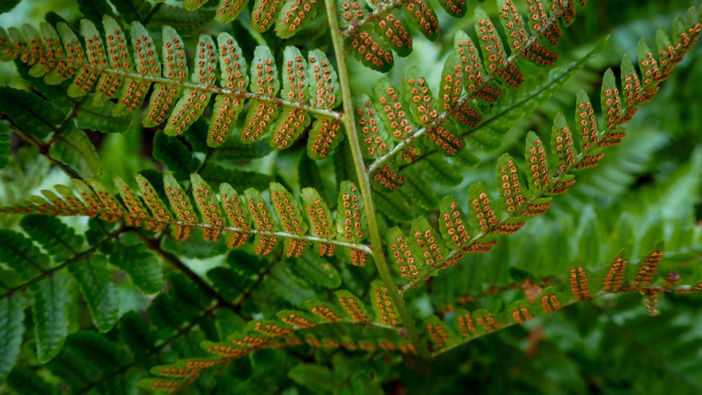 Photo of the underside of a fern frond