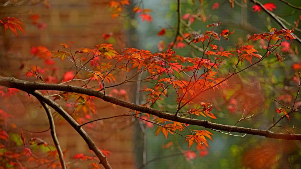 Orange leaves on a Japanese maple tree branch