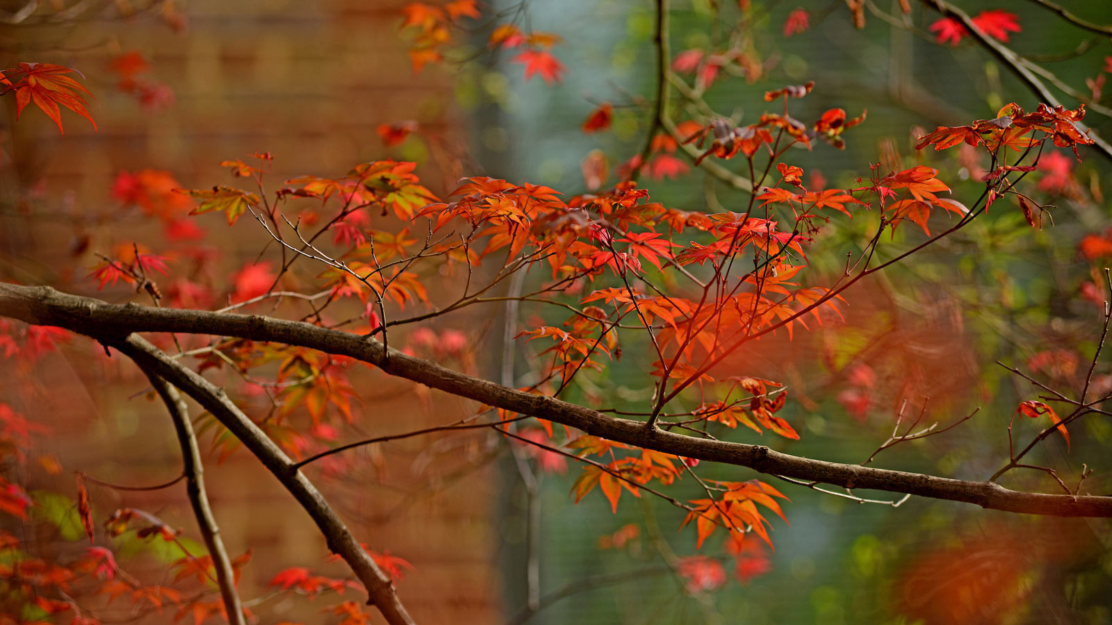 Orange leaves on a Japanese maple tree branch