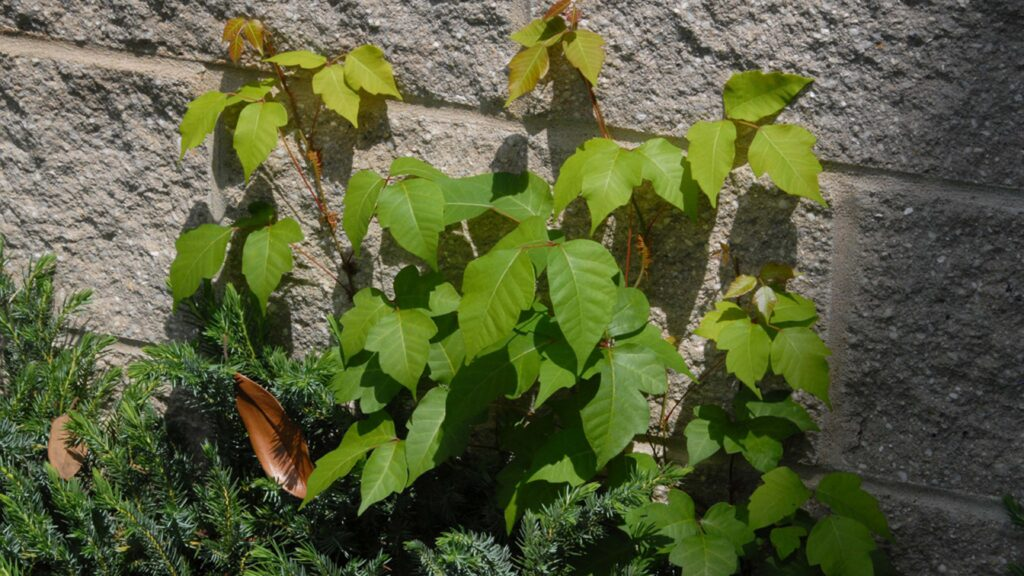 Toxicodendron radicans, commonly known as Poison ivy, vines on a stone wall