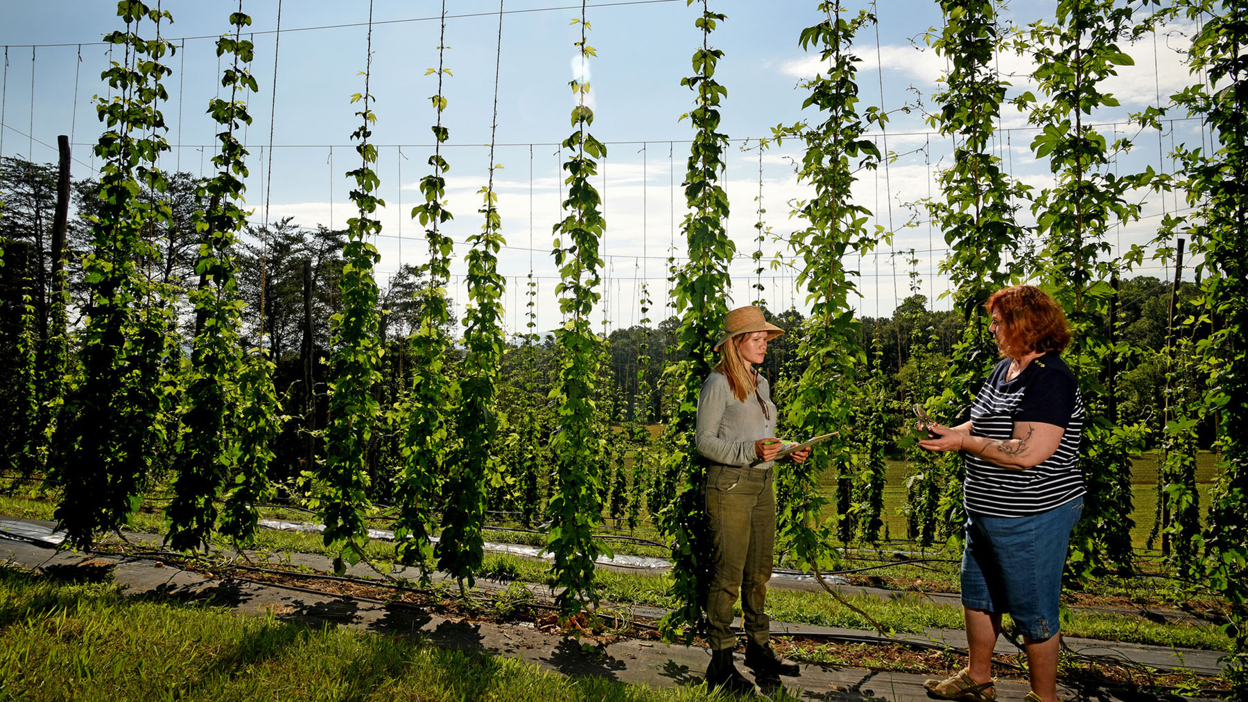 A farmer and a specialist from NC State Extension stand talking in front of large hop bines in a field.