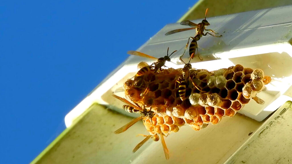A wasp nest with multiple wasps flying around on the roof of a white house