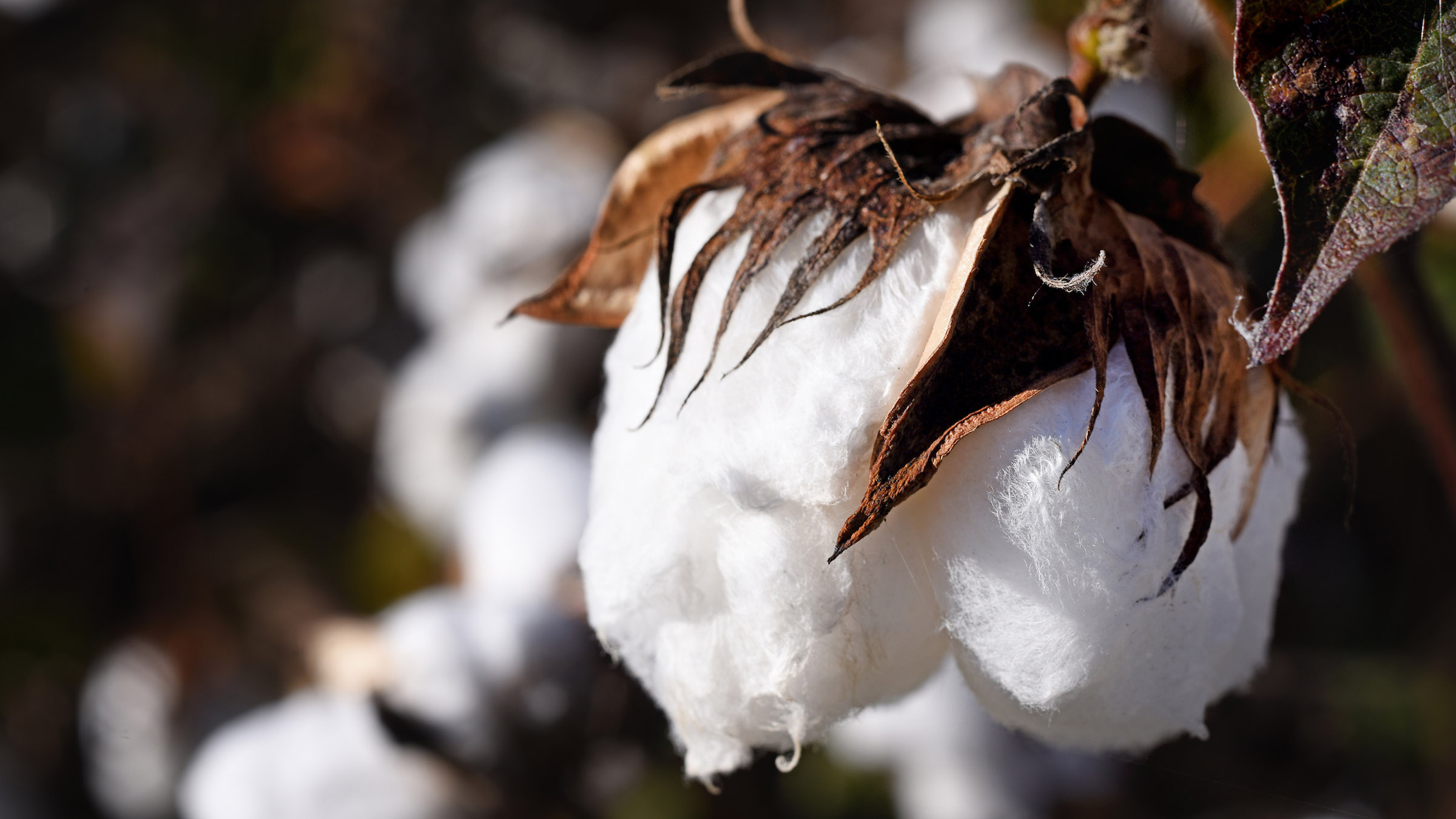 Close-up of the cotton ball on the plant in the field.
