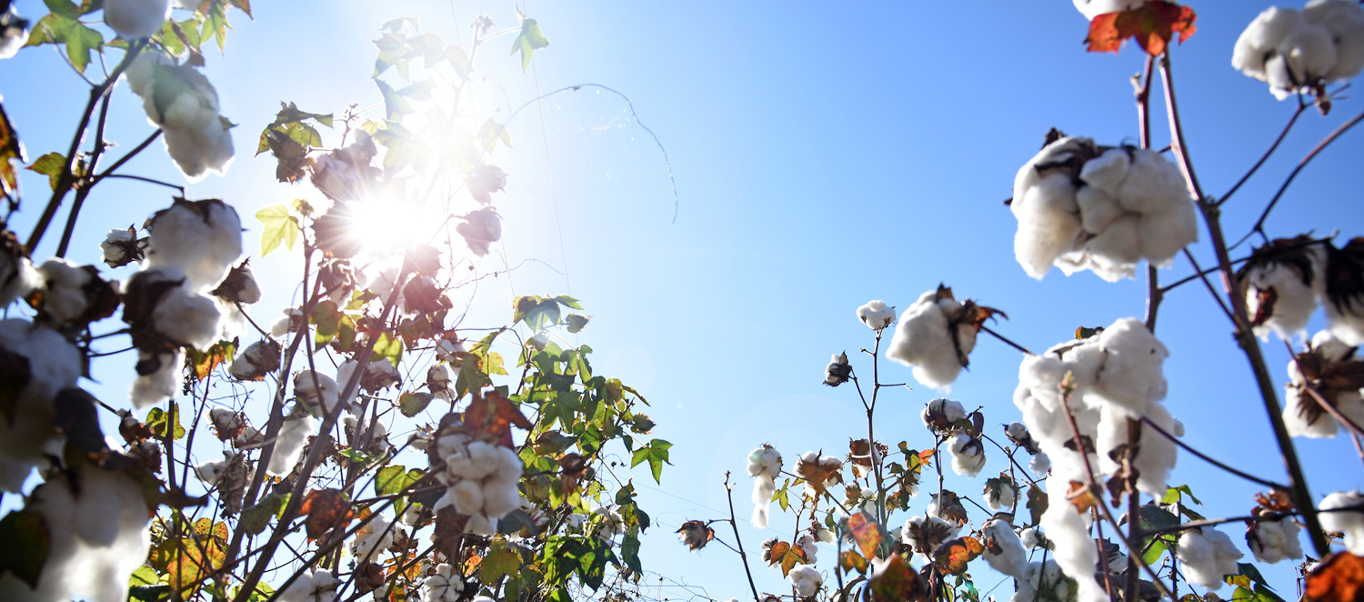 Cotton plants in a field with the bright sun and blue sky in the background.