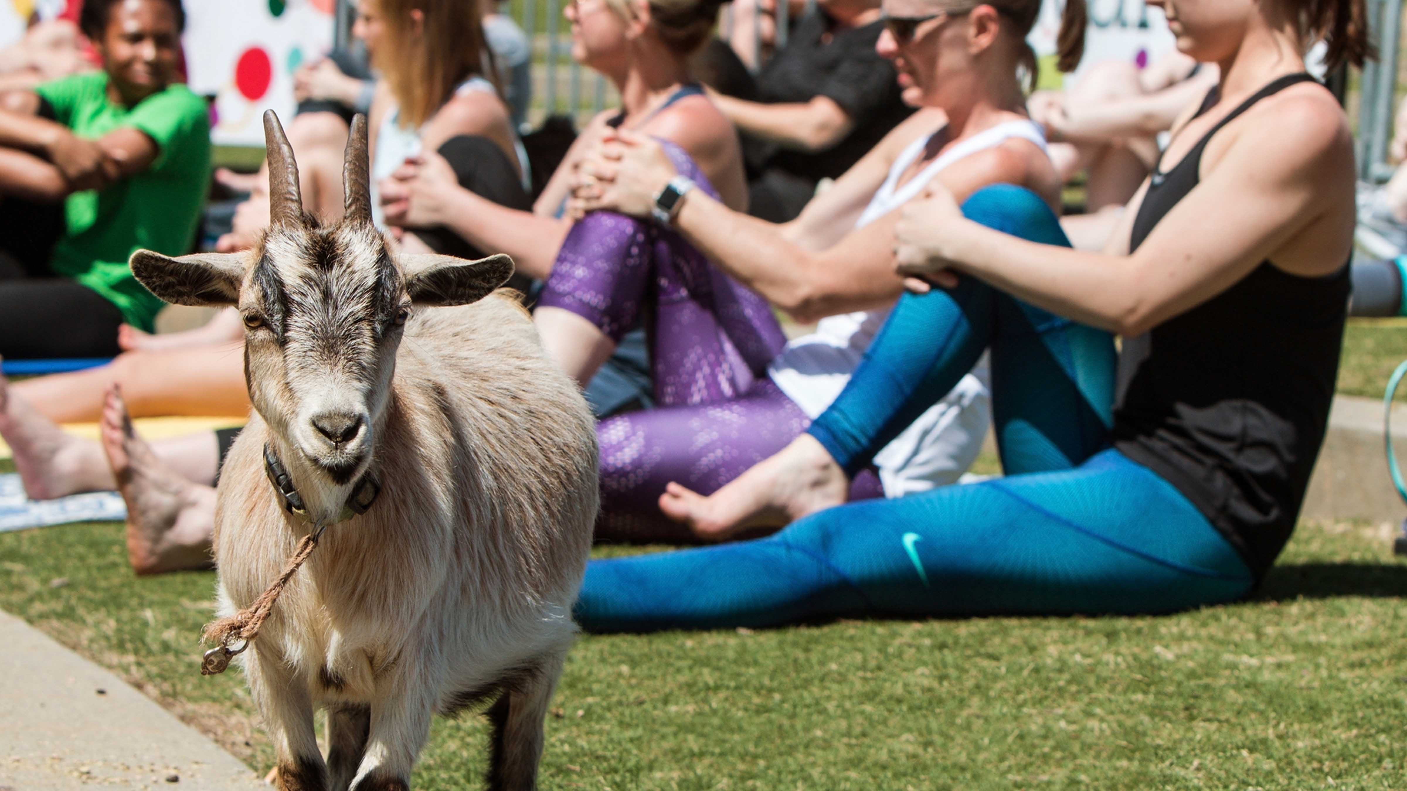 A goat stands among women stretching at a goat yoga event.