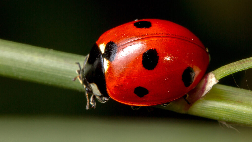 A ladybug perched on a blade of grass.