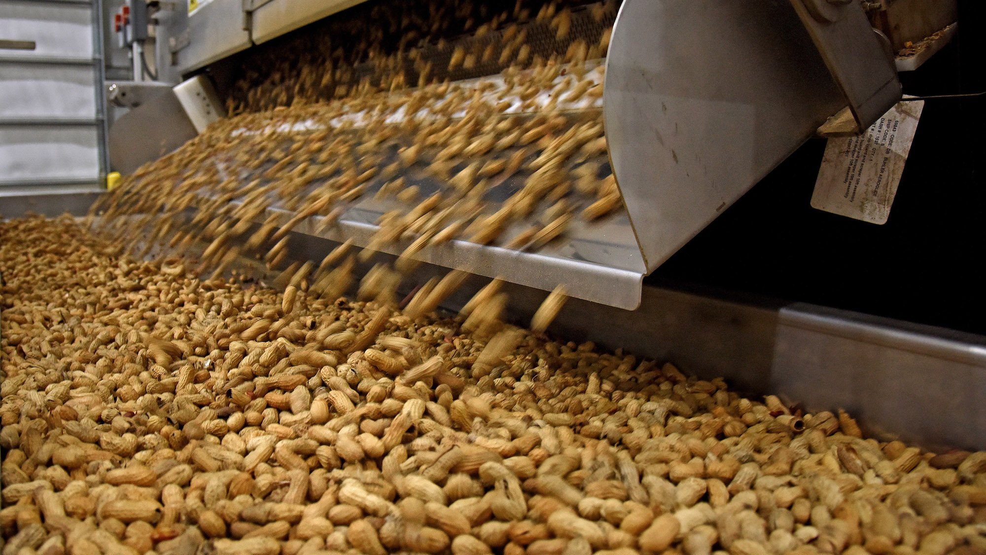 Sorted peanuts fall onto a conveyor belt in a packing facility in North Carolina.