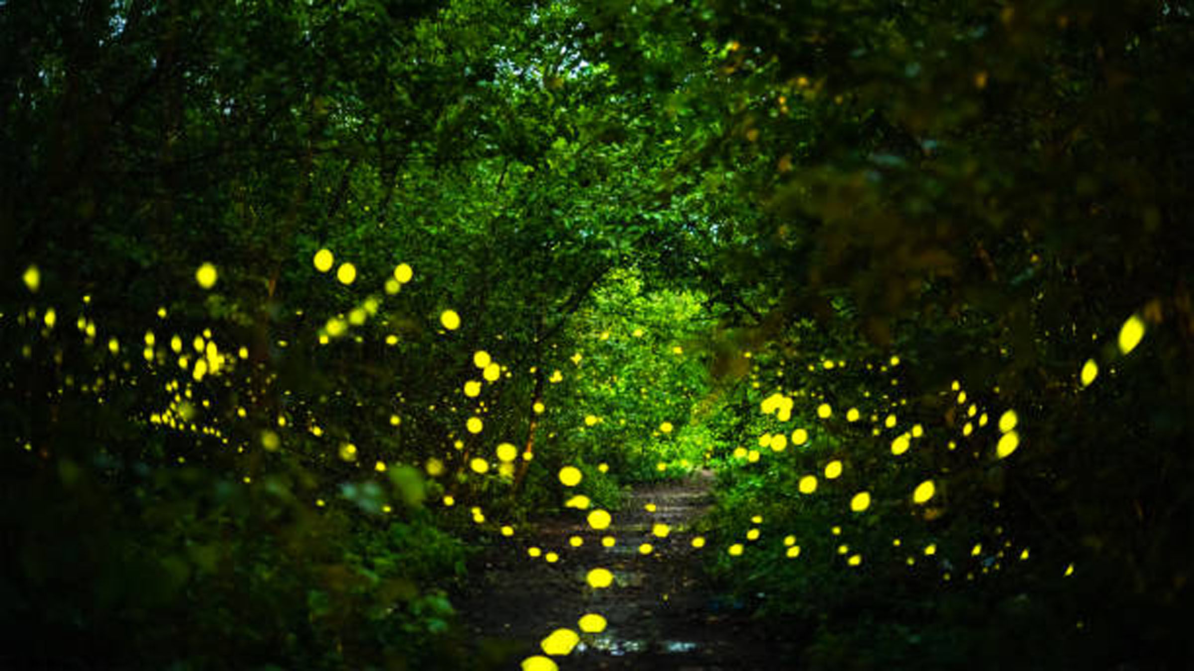 Fireflies or lightning bugs flying at night in the forest.