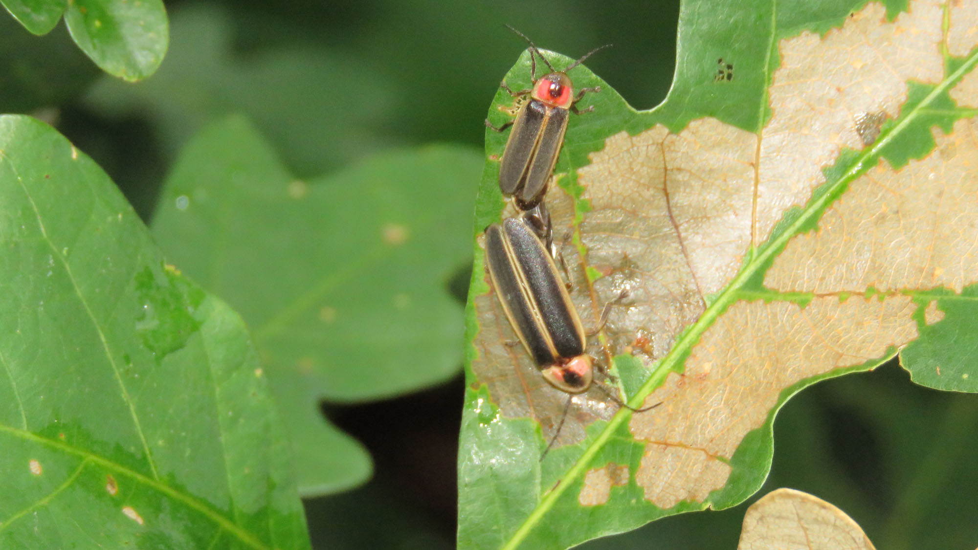 Two fireflies preapring to mate while on a tree leaf during the day.