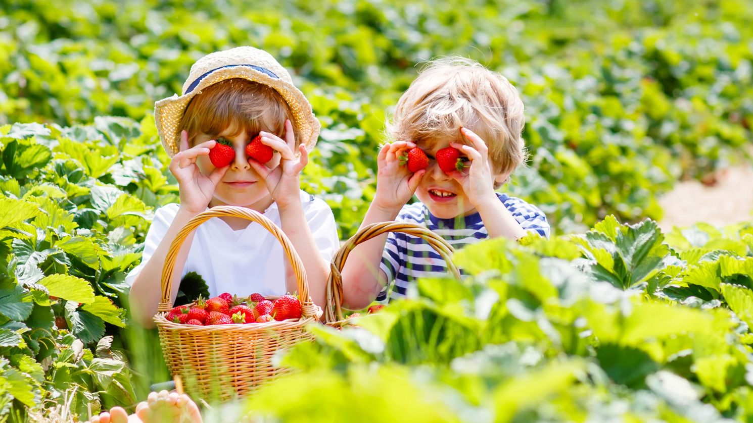 Two young brothers sitting in a strawberry field having fun while picking strawberries.