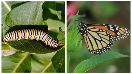 A monarch caterpillar and monarch butterfly displayed side-by-side.