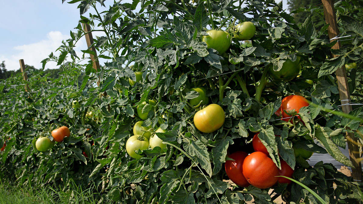 Tomatoes on vines in a field during a bright summer day.